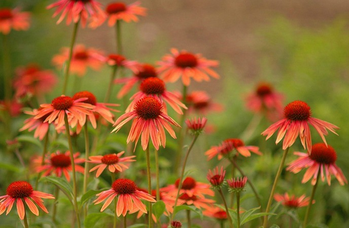 home remedies for cellulitis - echinacea