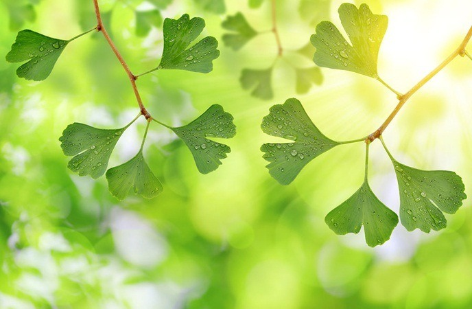 home remedies for wheezing - gingko biloba