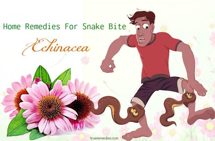 home remedies for snake bite - echinacea