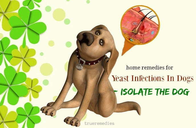 isolate the dog to prevent yeast from spreading to other pets